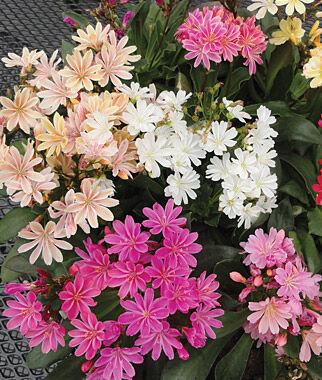 Lewisia, Elise Mix 1 Pkt. (20 Seeds) Perennial, Perennial Flowers, Perennial Flower Seeds, Flower Seeds, Perennial Seeds, Flowers, Seeds