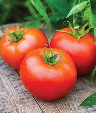 Tomato, Tasti-Lee Hybrid 3 Plants Tomatoes, Tomato Seeds, Beefsteak Tomatoes, Slicing Tomatoes, Tomato Starts, Tomato Plants
