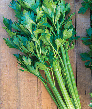 Celery, Tango Hybrid 1 Pkt. (750 seeds) Celery Seeds, Celeriac Seeds, Herb Seeds, Garden Seeds, Vegetable Seeds, Celery, Celeriac