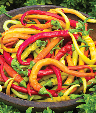Hot Pepper, Sweet Thing Hybrid 3 Plants Hot Pepper Seeds, Chili Pepper Seeds, Chili Seeds, Pepper Seeds, Peppers, Chilis, Garden Seeds, Seed