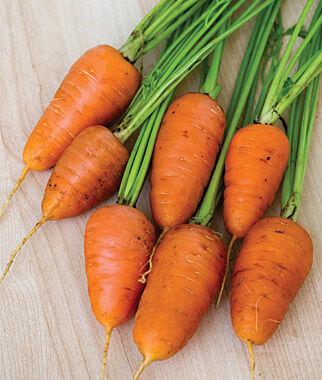 Carrot, Caracas Hybrid 1 Pkt. (2000 seeds) Carrot, Carrot Seeds, Carrot Seed, Seeds, Vegetable Seeds, Vegetable Garden Supplies, Garden Seeds