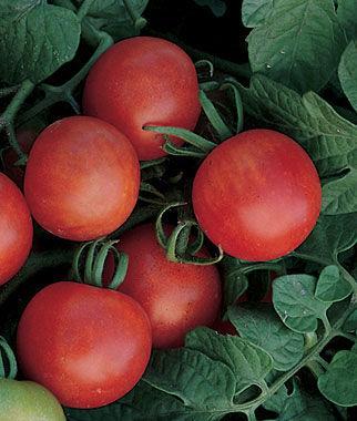 Tomato, Gardener's Delight 1 Plant Cherry Tomato Seeds, Currant Tomato Seeds, Grape Tomato Seeds, Cherry Tomato, Tomato Seeds
