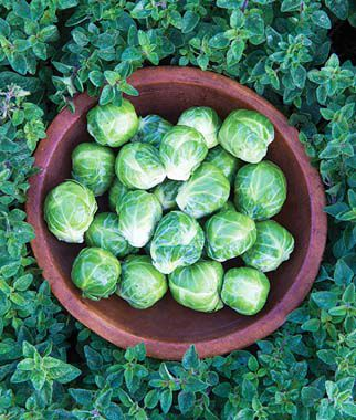 Brussels Sprout, Early Marvel Hybrid 1 Pkt. (50 seeds) Brussels Sprouts Seed, Brussels Sprout Seeds, Brussel Sprouts Seed, Garden Seeds, Vegetable Seeds