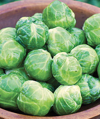 Brussels Sprouts, Octia 1 Pkt. (125 seeds) Brussels Sprouts Seed, Brussels Sprout Seeds, Brussel Sprouts Seed, Garden Seeds, Vegetable Seeds