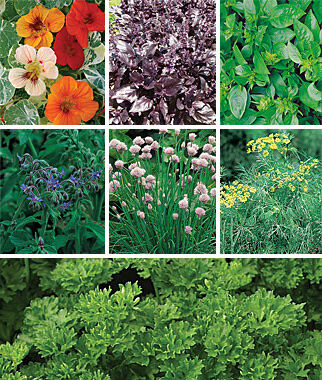 Collection, Summers Essential Herbs 7 Pkts. Herbs, Herb Seeds, Herb Seed, Herb Plants, Herb Garden, Garden Seeds, Vegetable Garden, Seeds