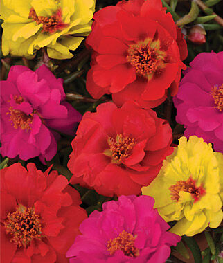 Portulaca, Color Carosel Mix 1 Pkt. (50 pellets) Annuals, Annual, Annual Flowers, Annual Flower Seeds, Seeds, Flower Seeds, Cottage Garden Flowers