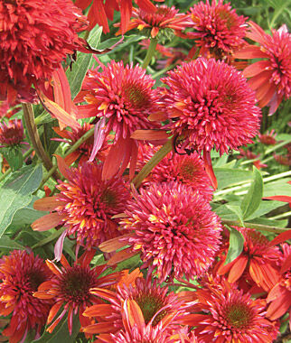 Echinacea, Double Scoop Orangeberry 1 Plant Perennial, Perennial Flowers, Perennial Flower Plants, Perennial Plants, Flower Plants, Flowers