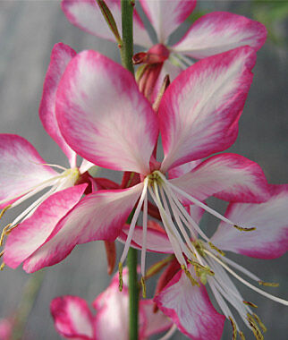 Gaura, Rosy Jane 1 Plant Perennial, Perennial Flowers, Perennial Flower Plants, Perennial Plants, Flower Plants, Flowers