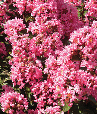 Crape Myrtle, Coral Magic 1 Plant Perennial, Perennial Flowers, Perennial Flower Plants, Perennial Plants, Flower Plants, Flowers