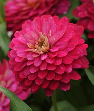 Zinnia, Zahara Double Strawberry 1 Pkt. (25 seeds) Annuals, Annual, Annual Flowers, Annual Flower Seeds, Seeds, Flower Seeds, Cottage Garden Flowers