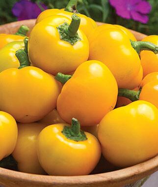 Pepper, Sweet, Tweety Hybrid 1 Pkt. (10 seeds) Pepper Seeds, Sweet Pepper Seeds, Stuffing Peppers, Bell Peppers, Sweet Peppers, Bell Pepper Seeds