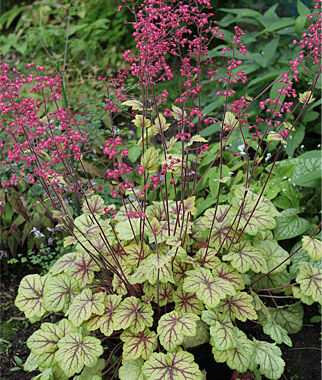 Heuchera, Circus 1 Plant Perennial, Perennial Flowers, Perennial Flower Plants, Perennial Plants, Flower Plants, Flowers