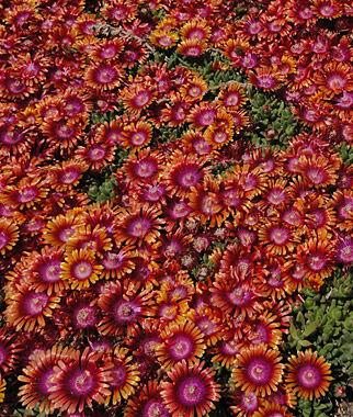Delosperma, Fire Spinner 1 Plant Perennial, Perennial Flowers, Perennial Flower Plants, Perennial Plants, Flower Plants, Flowers