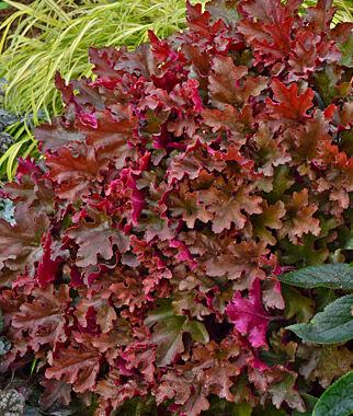 Heuchera, Dolce Cinnamon Curls 1 Plant Perennial, Perennial Flowers, Perennial Flower Plants, Perennial Plants, Flower Plants, Flowers