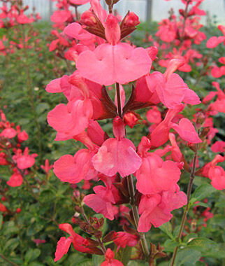 Salvia, Suncrest Flamenco Rose 1 Plant Perennial, Perennial Flowers, Perennial Flower Plants, Perennial Plants, Flower Plants, Flowers