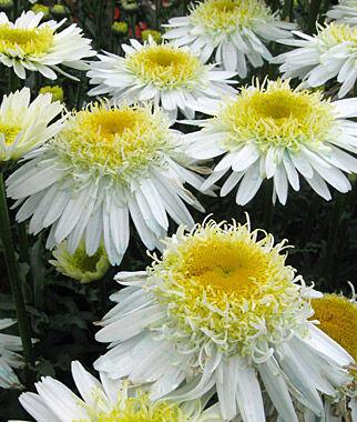 Shasta Daisy, Real Glory 1 Plant Perennial, Perennial Flowers, Perennial Flower Plants, Perennial Plants, Flower Plants, Flowers