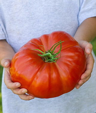 Tomato, SteakHouse Hybrid 1 Pkt. (25 seeds) Tomatoes, Tomato Seeds, Beefsteak Tomatoes, Slicing Tomatoes, Tomato Starts, Tomato Plants