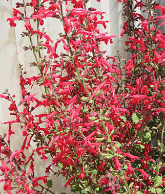 Salvia Roemeriana, Hot Trumpets 1 Pkt. (50 Seeds) Perennial, Perennial Flowers, Perennial Flower Seeds, Flower Seeds, Perennial Seeds, Flowers, Seeds