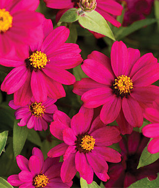 Zinnia, Uptown Grape 1 Pkt. (25 Seeds) Annuals, Annual, Annual Flowers, Annual Flower Seeds, Seeds, Flower Seeds, Cottage Garden Flowers
