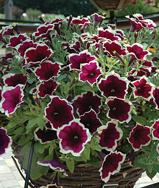 Petunia, Cascadia Rim Magenta 3 Plants Annuals, Annual Flowers, Annual Flower Plants, Flower Plants, Flowering Annuals, Bedding Plants