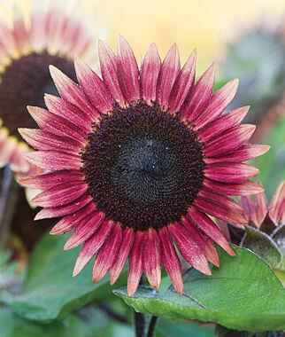 Sunflower, Ms. Mars 1 Pkt. (25 Seeds) Annuals, Annual, Annual Flowers, Annual Flower Seeds, Seeds, Flower Seeds, Cottage Garden Flowers