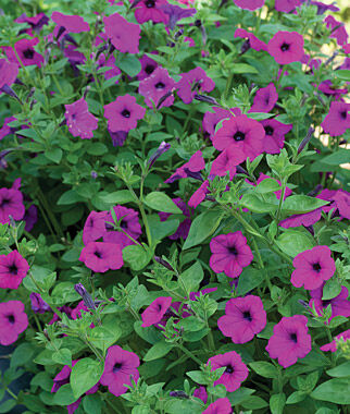 Petunia, Tickled Pink 1 Pkt. (10 Seeds) Annuals, Annual, Annual Flowers, Annual Flower Seeds, Seeds, Flower Seeds, Cottage Garden Flowers