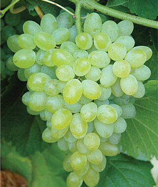 Grape, Hope Seedless 2 Bare Root Plants Grapes, Grape Vines, Grape Plants, Grape Starts, Bare Root Grapes, Fruit Plants, Fruit Garden, Vines