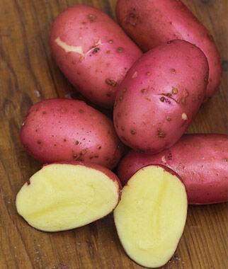Potato, Red Luna 1 Pack (10 mini tubers) Potato, Potatoes, Seed Potatoes, Potato Sets, Potato Seed, Garden Potatoes, Vegetable Seeds