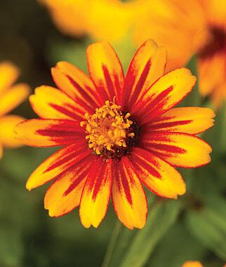 Zinnia, Zahara Sunburst 1 Pkt. (25 Seeds) Annuals, Annual, Annual Flowers, Annual Flower Seeds, Seeds, Flower Seeds, Cottage Garden Flowers