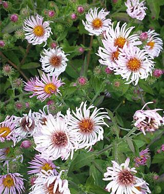 Ampelaster Carolinianus 1 Plant Perennial, Perennial Flowers, Perennial Flower Plants, Perennial Plants, Flower Plants, Flowers