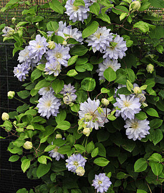 Clematis, Diamond Ball 1 Plant Perennial, Perennial Flowers, Perennial Flower Plants, Perennial Plants, Flower Plants, Flowers