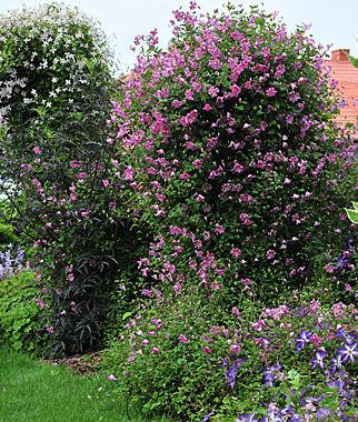Clematis, Pink Mink 1 Plant Perennial, Perennial Flowers, Perennial Flower Plants, Perennial Plants, Flower Plants, Flowers