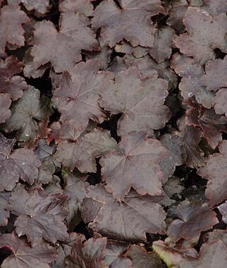 Heuchera, Blackout 1 Plant Perennial, Perennial Flowers, Perennial Flower Plants, Perennial Plants, Flower Plants, Flowers