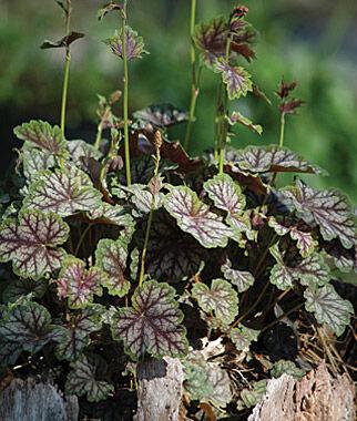 Heuchera, Dale's Strain 1 Plant Perennial, Perennial Flowers, Perennial Flower Plants, Perennial Plants, Flower Plants, Flowers