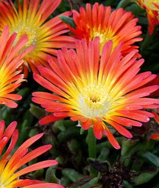 Delosperma, Fire Wonder 1 Plant Perennial, Perennial Flowers, Perennial Flower Plants, Perennial Plants, Flower Plants, Flowers