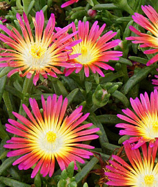 Delosperma, Hot Pink Wonder 1 Plant Perennial, Perennial Flowers, Perennial Flower Plants, Perennial Plants, Flower Plants, Flowers