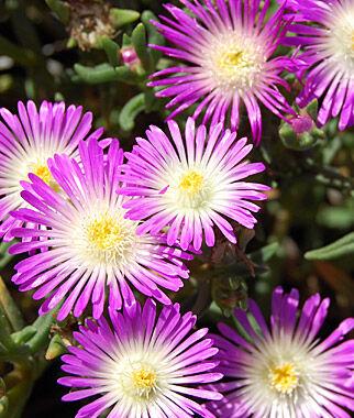 Delosperma, Violet Wonder 1 Plant Perennial, Perennial Flowers, Perennial Flower Plants, Perennial Plants, Flower Plants, Flowers