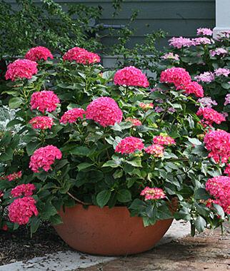 Hydrangea macrophylla, CitiLine Paris 1 Plant Perennial, Perennial Flowers, Perennial Flower Plants, Perennial Plants, Flower Plants, Flowers