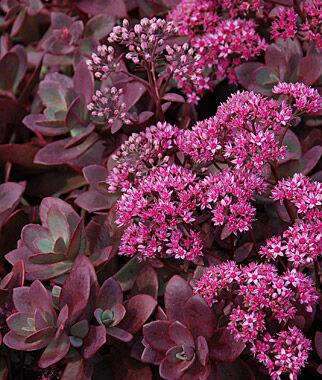 Sedum, Firecracker 1 Plant Perennial, Perennial Flowers, Perennial Flower Plants, Perennial Plants, Flower Plants, Flowers