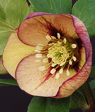 Hellebore, Mango Magic 1 Plant Perennial, Perennial Flowers, Perennial Flower Plants, Perennial Plants, Flower Plants, Flowers