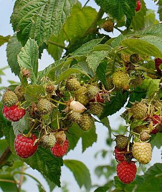 Raspberry, Himbo Top 5 Bare Root Plants Raspberries, Raspberry, Raspberry Plants, Raspberry Roots, Berry Plants, Berry Garden, Fruit Garden