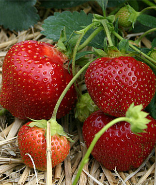 Strawberry, Galletta 25 Bare Root Plants Strawberries, Strawberry Plants, Strawberry Starts, Strawberry Roots, Strawberry, Garden Plants