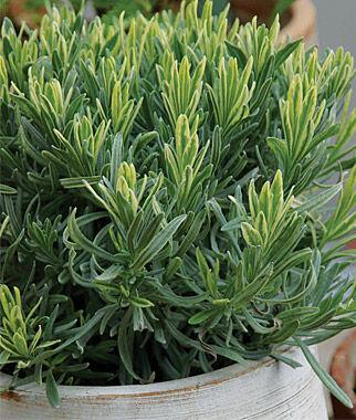 Lavender, Platinum Blonde 1 Plant Perennial, Perennial Flowers, Perennial Flower Plants, Perennial Plants, Flower Plants, Flowers