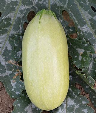 Squash, Summer, Great Griller Hybrid 1 Pkt. (30 seeds) Zucchini Seeds, Zucchini Seed, Summer Squash, Squash, Zucchini Squash, Garden Seeds, Vegetable Seeds