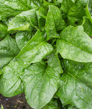 Spinach, A La Carte Hybrid 1 Pkt. (300 seeds) Spinach Seed, Spinach Seeds, Spinach, Seeds, Garden Seeds, Vegetable Seeds, Garden Supplies