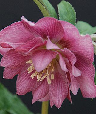 Helleborus, Ballerina Ruffles 1 Plant Perennial, Perennial Flowers, Perennial Flower Plants, Perennial Plants, Flower Plants, Flowers
