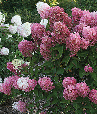 Hydrangea pan, Zinfin Doll 1 Plant Perennial, Perennial Flowers, Perennial Flower Plants, Perennial Plants, Flower Plants, Flowers