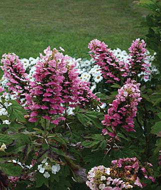 Hydrangea quercifolia, GATSBY PINK 1 Plant Perennial, Perennial Flowers, Perennial Flower Plants, Perennial Plants, Flower Plants, Flowers