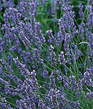 Lavender, Grosso 1 Bare Root Plant Perennial, Perennial Flowers, Perennial Flower Plants, Perennial Plants, Flower Plants, Flowers