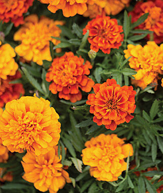 Marigold, Triple Treat 12 Plants Annuals, Annual Flowers, Annual Flower Plants, Flower Plants, Flowering Annuals, Bedding Plants